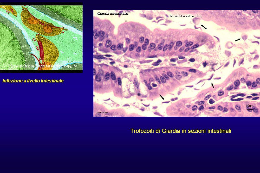 Trofozoiti di Giardia in sezioni intestinali
