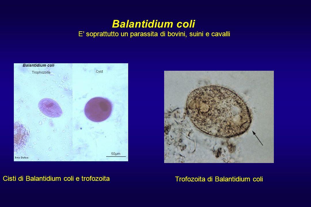Balantidium coli E' soprattutto un parassita di bovini, suini e cavalli. Balantidium coli trophozoites.