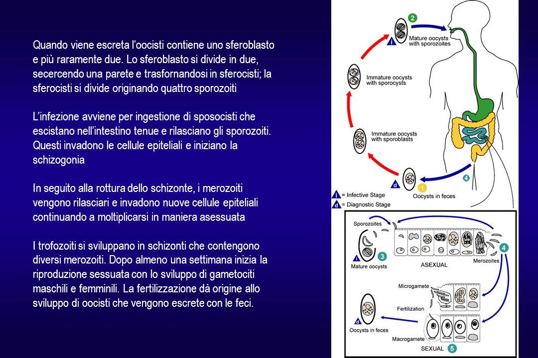 Quando viene escreta l'oocisti contiene uno sferoblasto e più raramente due. Lo sferoblasto si divide in due, secercendo una parete e trasfornandosi in sferocisti; la sferocisti si divide originando quattro sporozoiti