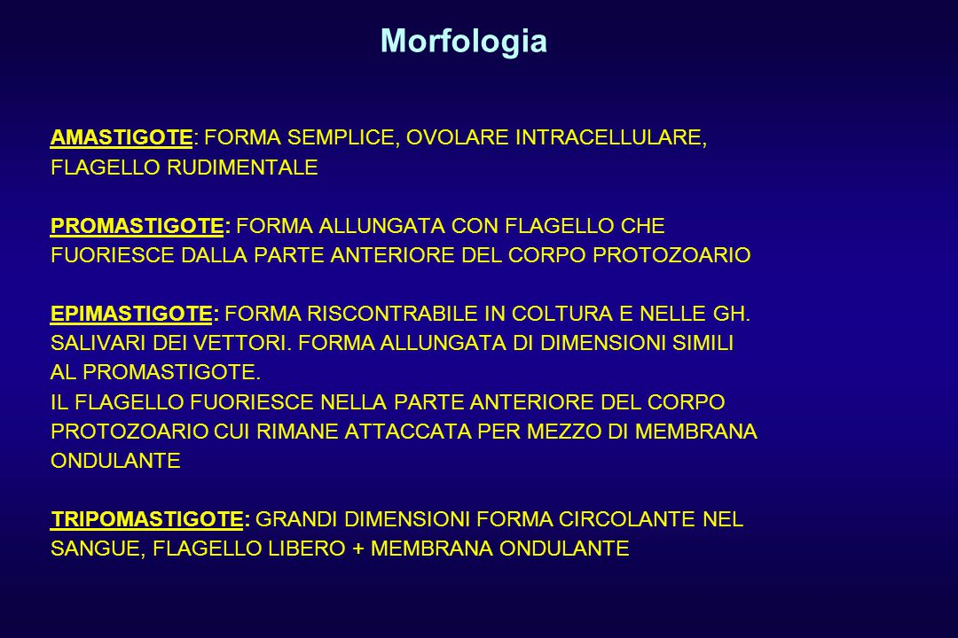 Morfologia AMASTIGOTE: FORMA SEMPLICE, OVOLARE INTRACELLULARE,