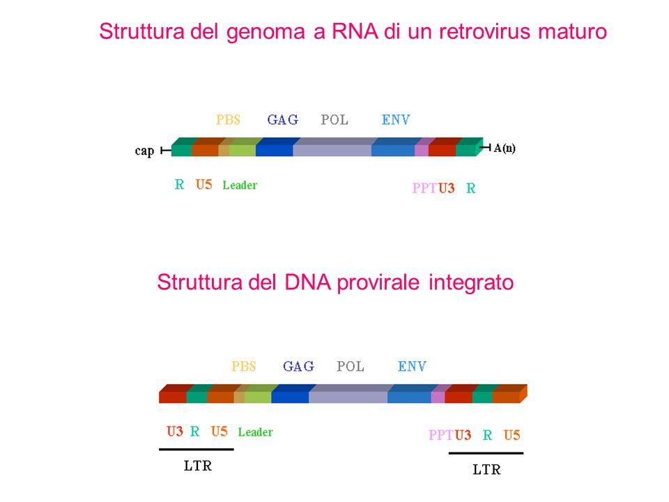 Struttura del genoma a RNA di un retrovirus maturo