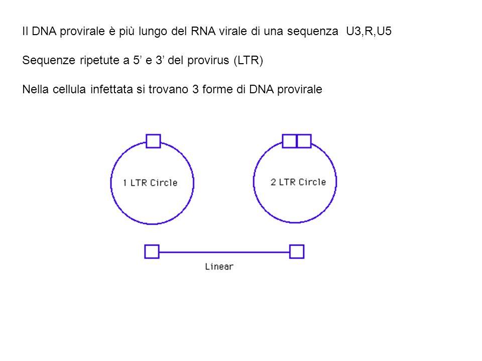 Il DNA provirale è più lungo del RNA virale di una sequenza U3,R,U5