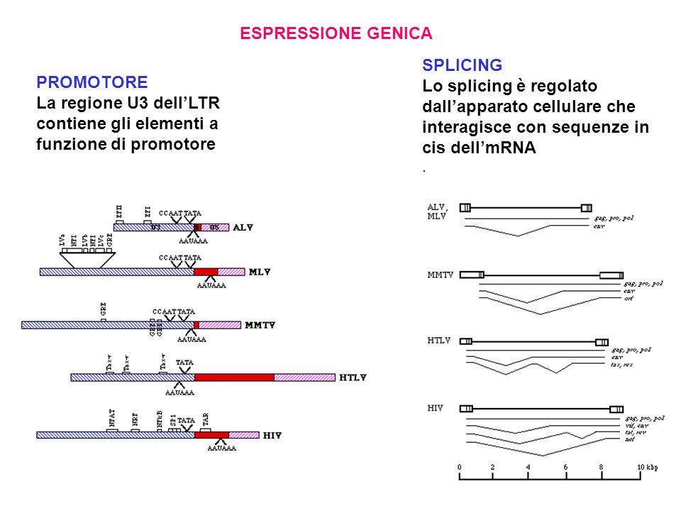 La regione U3 dell'LTR contiene gli elementi a funzione di promotore