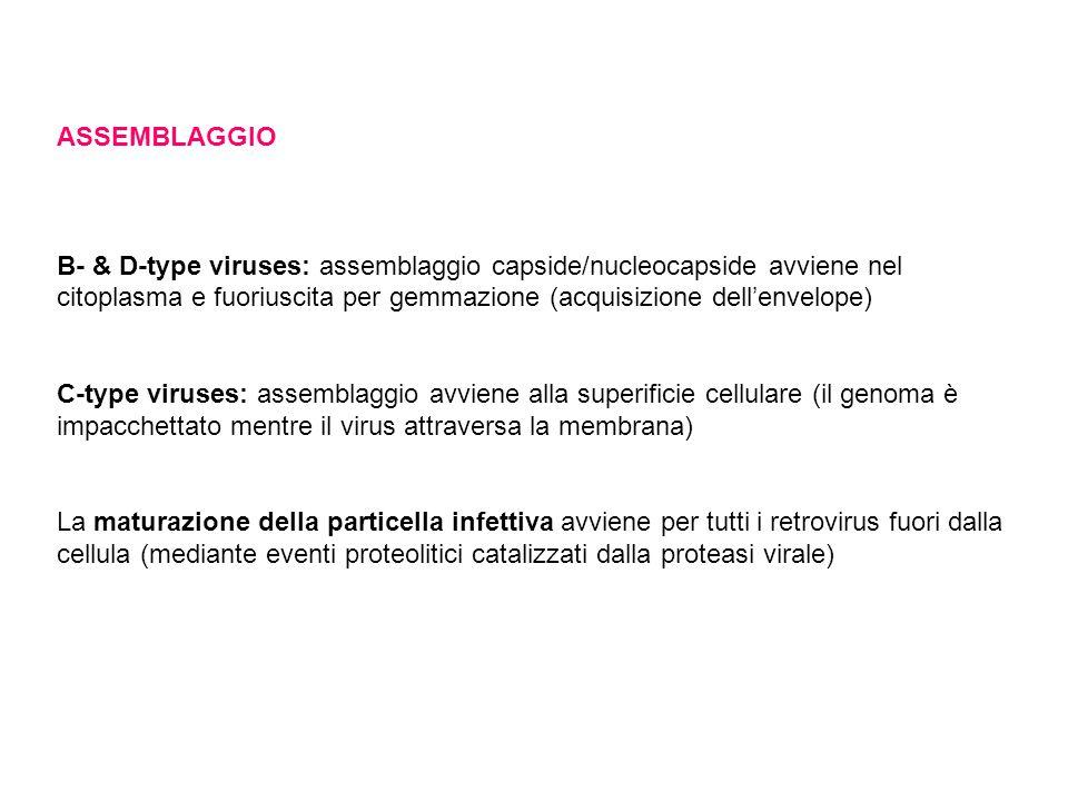 ASSEMBLAGGIO B- & D-type viruses: assemblaggio capside/nucleocapside avviene nel citoplasma e fuoriuscita per gemmazione (acquisizione dell'envelope)