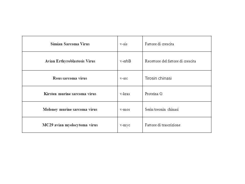 Avian Erthyroblastosis Virus v-erbB Recettore del fattore di crescita