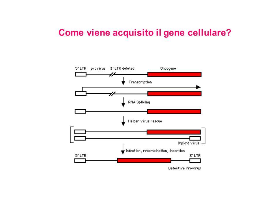 Come viene acquisito il gene cellulare