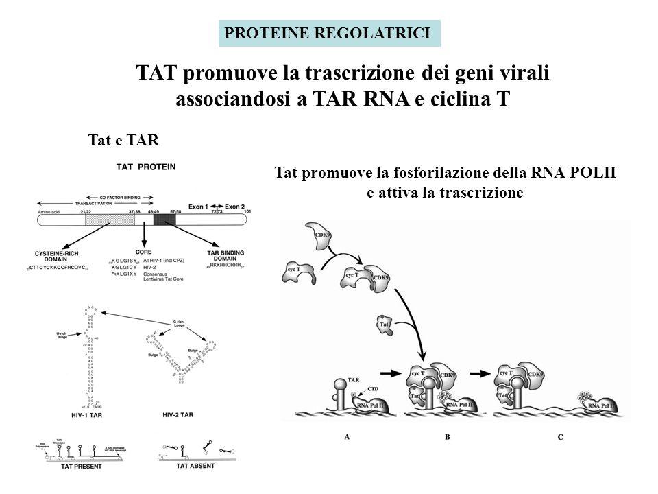PROTEINE REGOLATRICI TAT promuove la trascrizione dei geni virali associandosi a TAR RNA e ciclina T.
