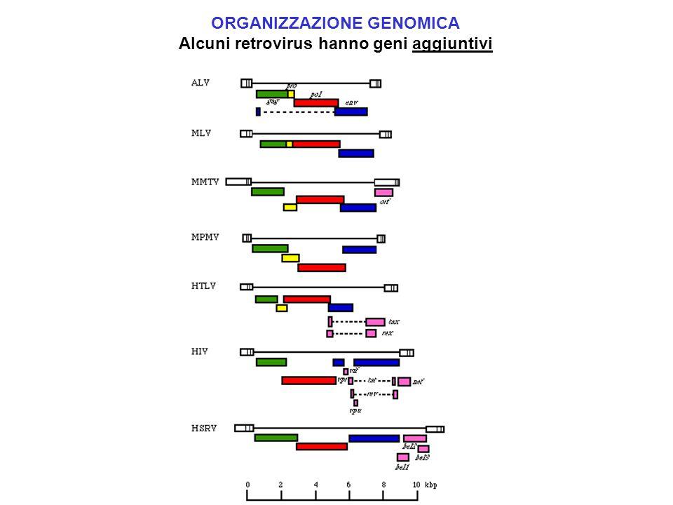 ORGANIZZAZIONE GENOMICA Alcuni retrovirus hanno geni aggiuntivi