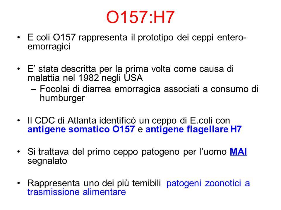 O157:H7 E coli O157 rappresenta il prototipo dei ceppi entero-emorragici.