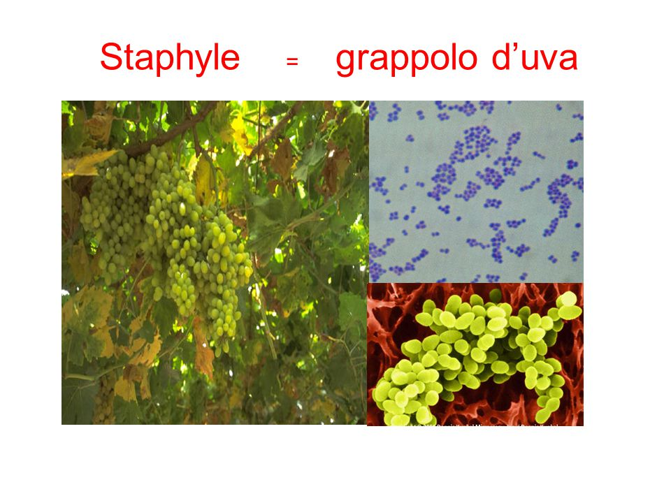 Staphyle = grappolo d'uva