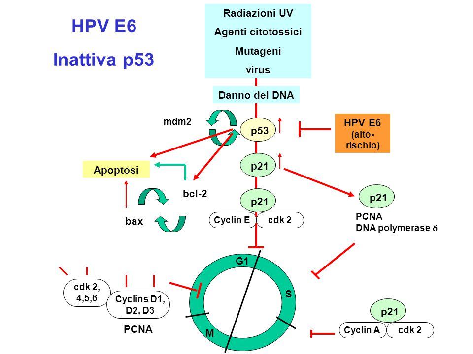 HPV E6 Inattiva p53 - + Radiazioni UV Agenti citotossici Mutageni