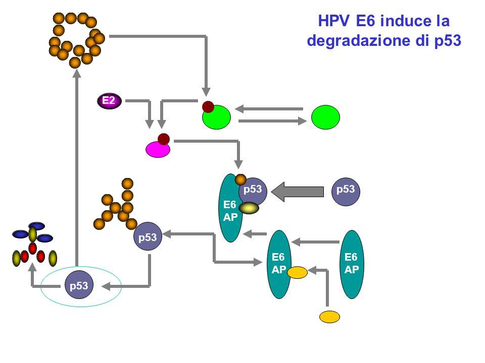 HPV E6 induce la degradazione di p53