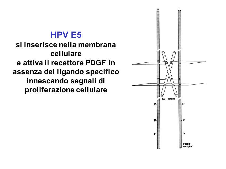 HPV E5 si inserisce nella membrana cellulare