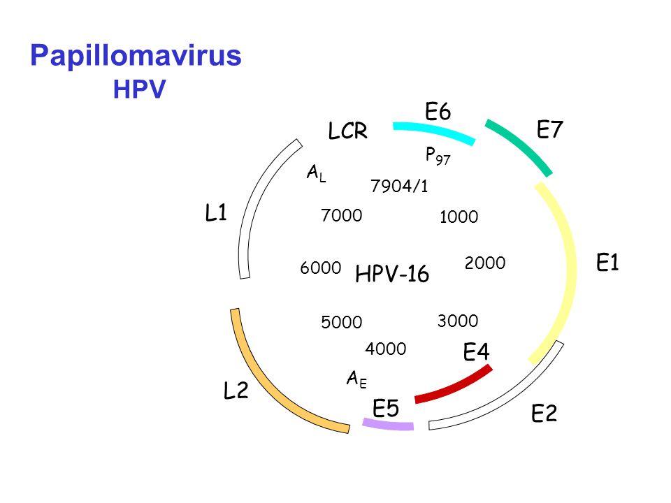 Papillomavirus HPV E6 LCR E7 L1 E1 HPV-16 E4 L2 E5 E2 P97 AL AE 7904/1