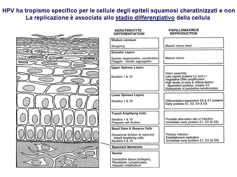 La replicazione è associata allo stadio differenziativo della cellula