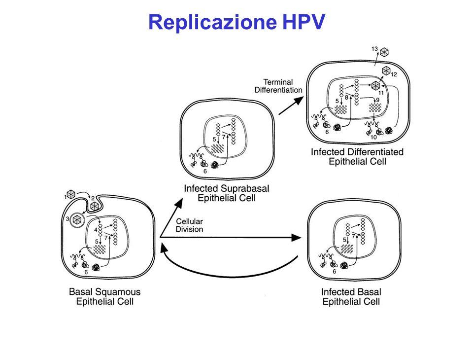 Replicazione HPV