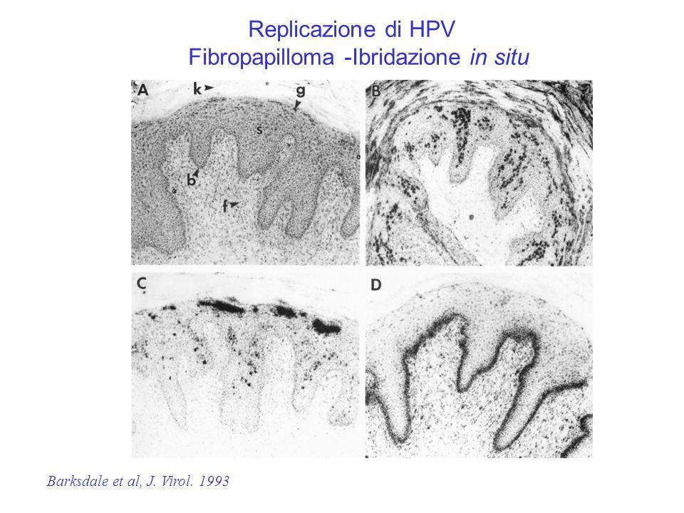 Fibropapilloma -Ibridazione in situ