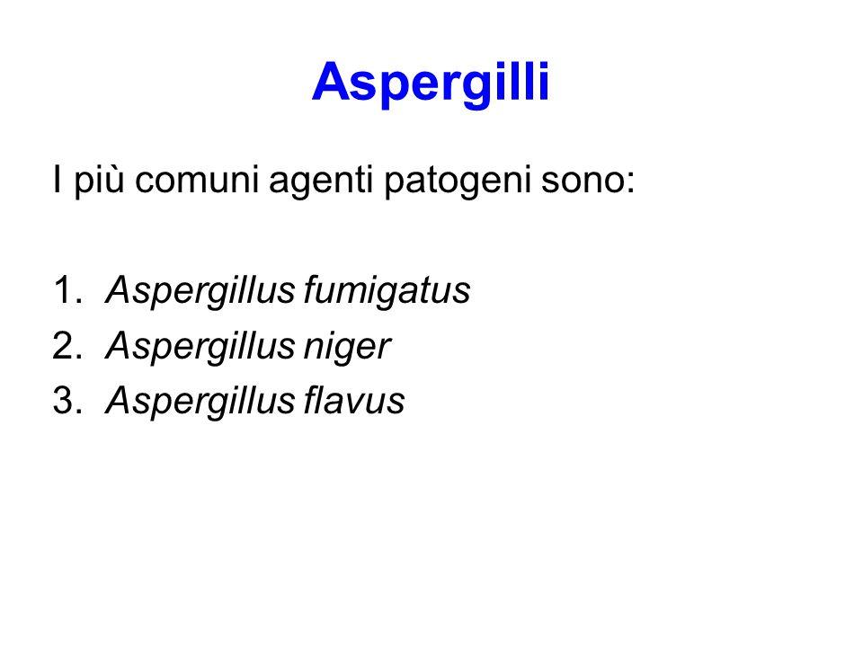 Aspergilli I più comuni agenti patogeni sono: 1. Aspergillus fumigatus