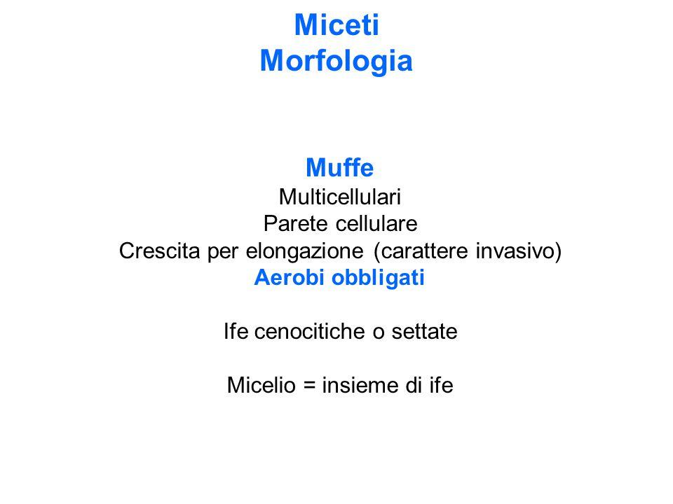 Miceti Morfologia Muffe Multicellulari Parete cellulare