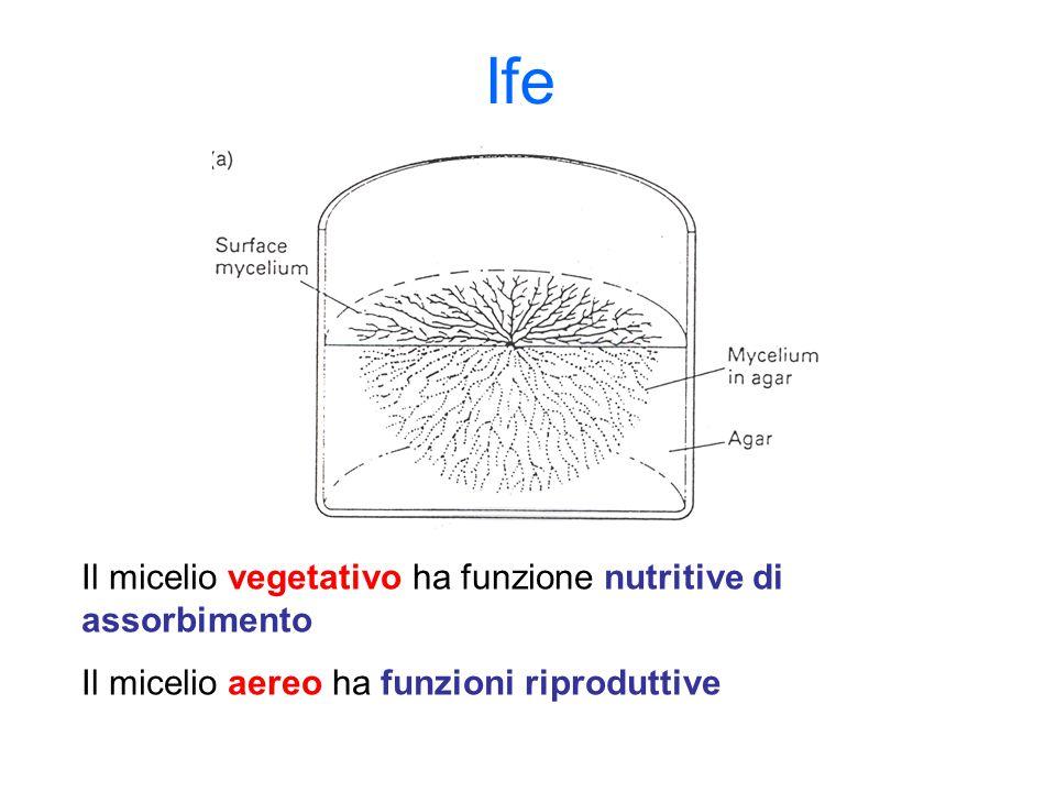 Ife Il micelio vegetativo ha funzione nutritive di assorbimento