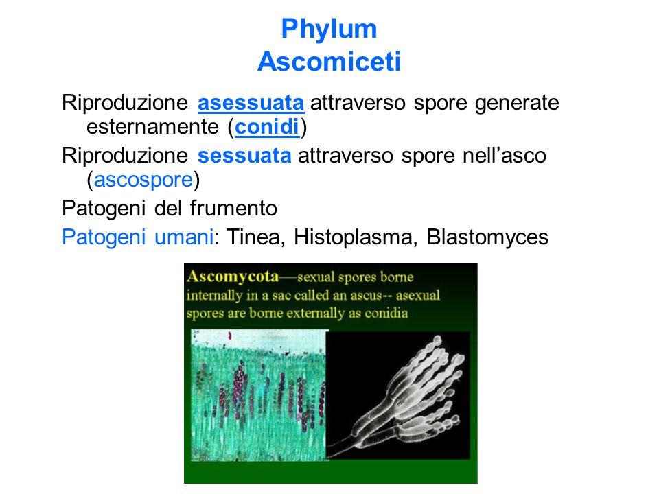 Phylum Ascomiceti Riproduzione asessuata attraverso spore generate esternamente (conidi)
