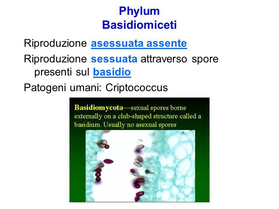 Phylum Basidiomiceti Riproduzione asessuata assente