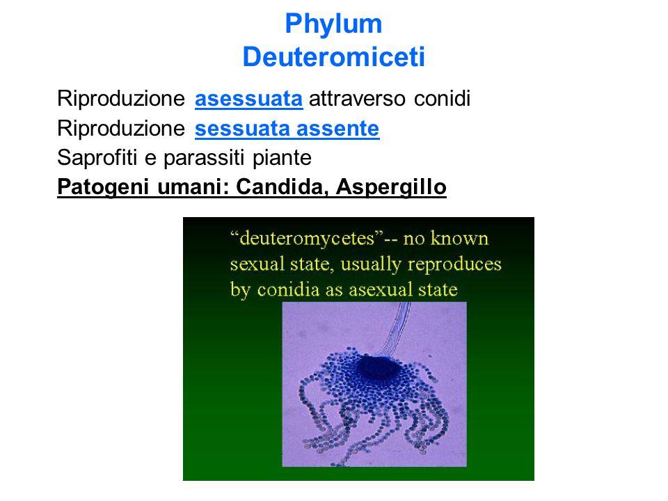 Phylum Deuteromiceti Riproduzione asessuata attraverso conidi