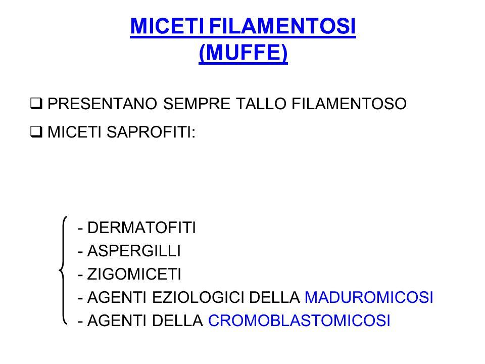 MICETI FILAMENTOSI (MUFFE)