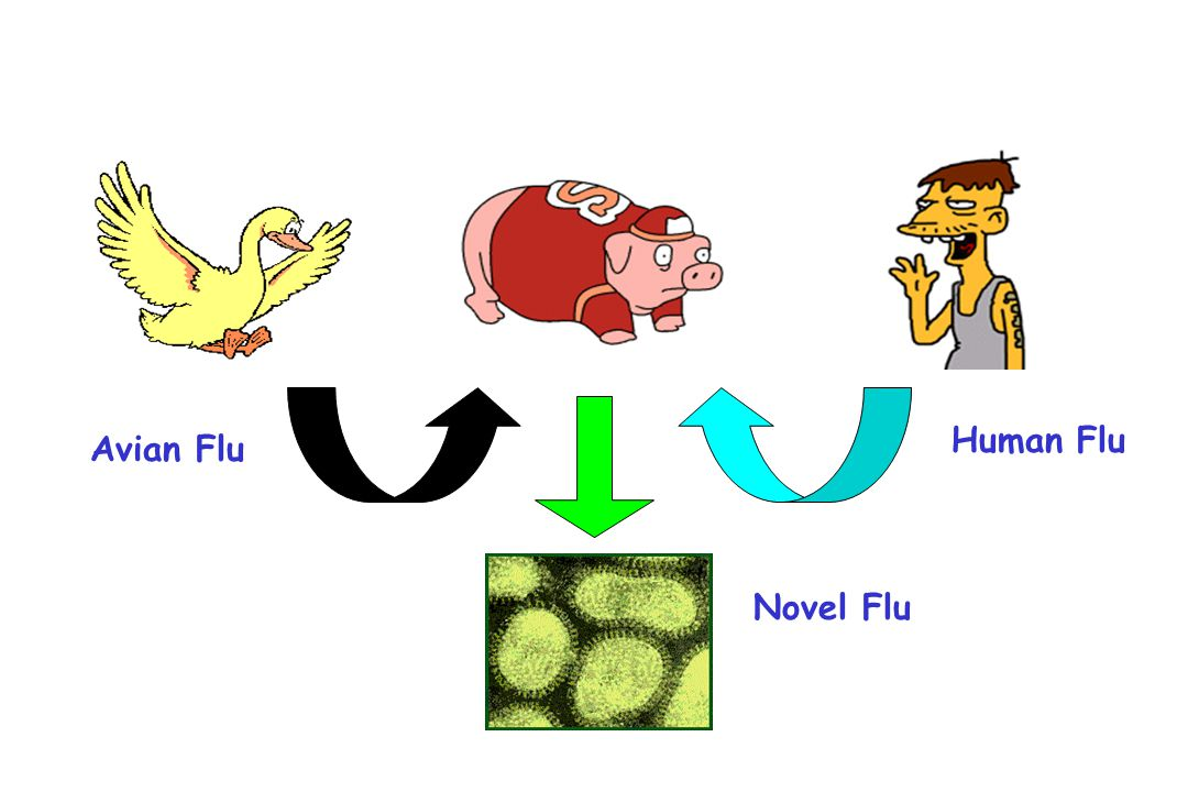 Human Flu Avian Flu Novel Flu Reassorment – square peg in round hole