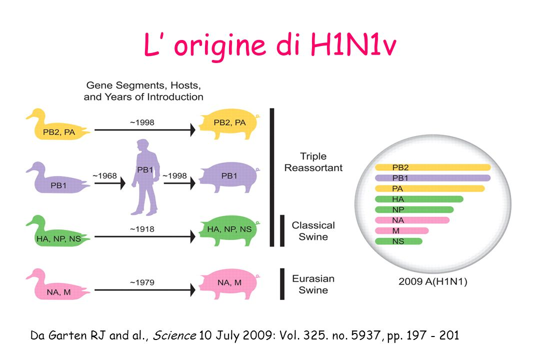 L' origine di H1N1v Da Garten RJ and al., Science 10 July 2009: Vol. 325. no. 5937, pp. 197 - 201