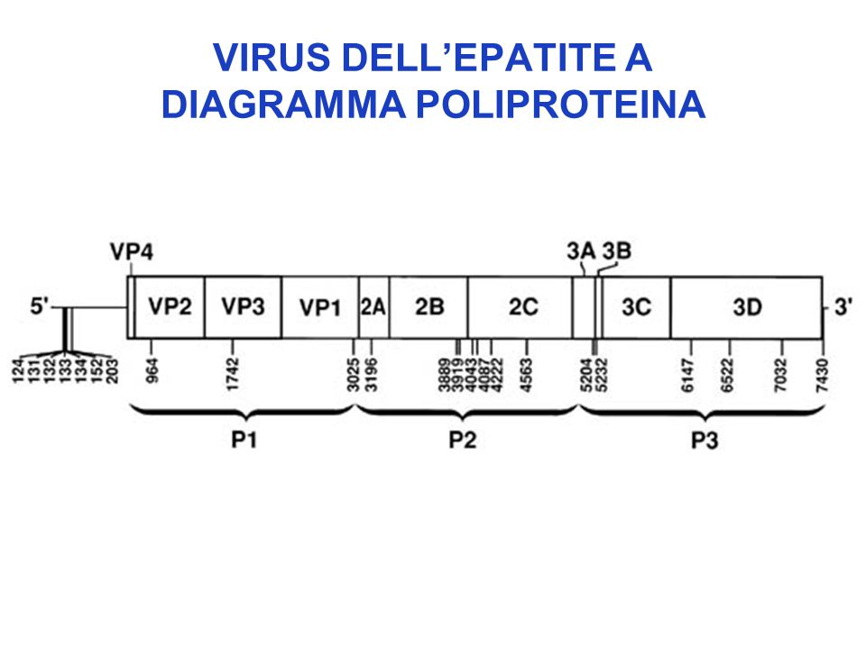 VIRUS DELL'EPATITE A DIAGRAMMA POLIPROTEINA