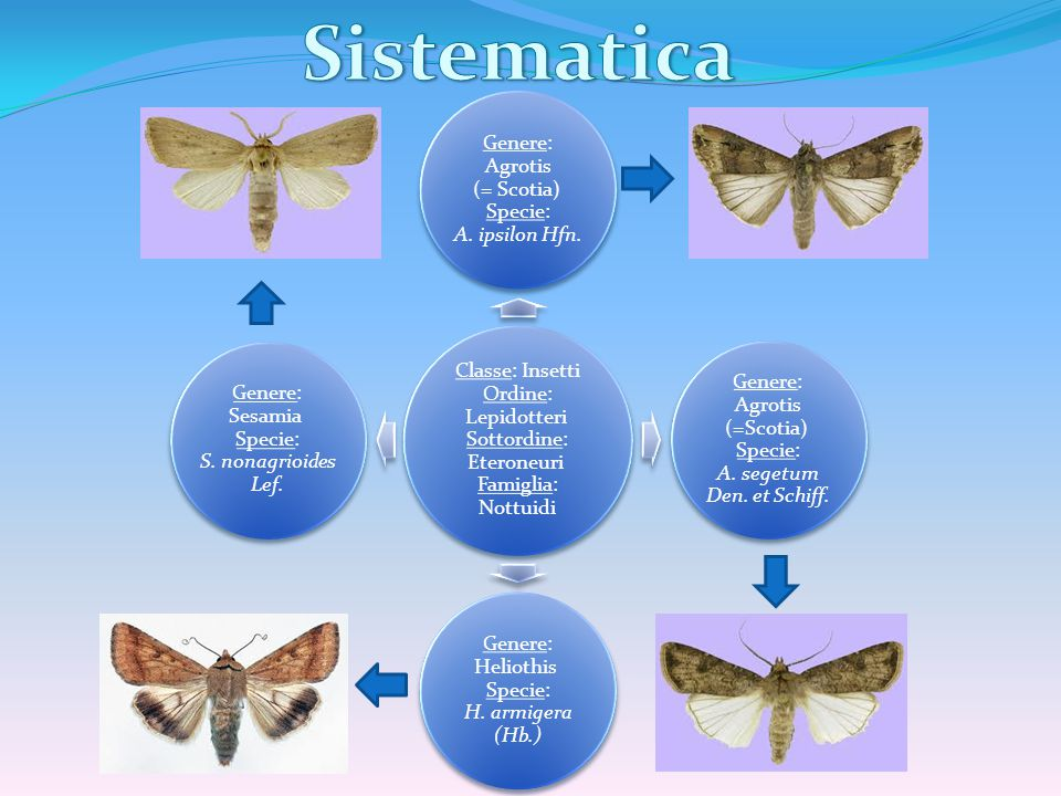 Sistematica Classe: Insetti Ordine: Lepidotteri Sottordine: Eteroneuri Famiglia: Nottuidi.
