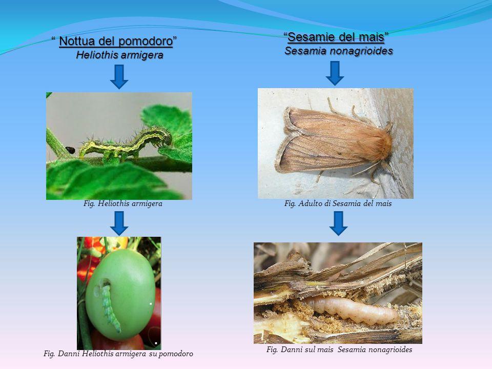 Sesamie del mais Nottua del pomodoro Sesamia nonagrioides
