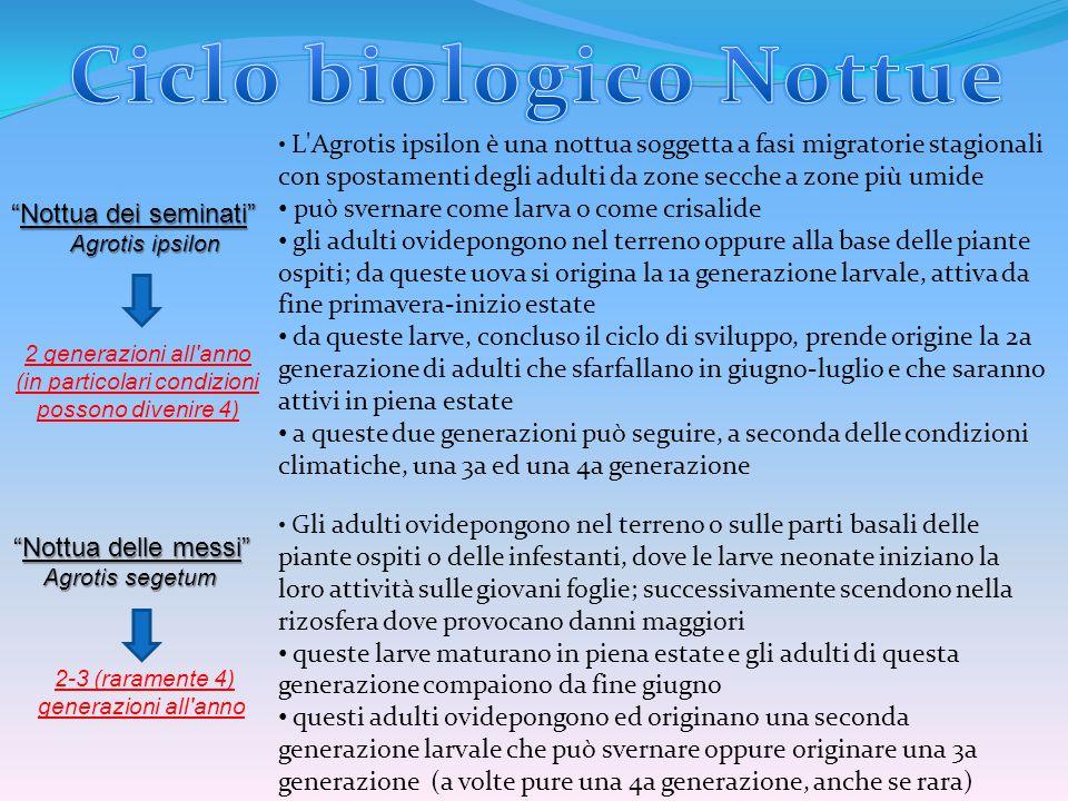 Ciclo biologico Nottue