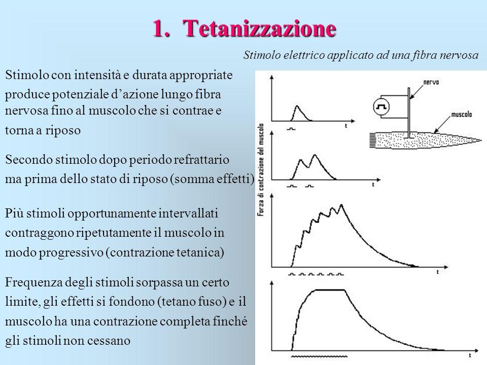 1. Tetanizzazione Stimolo con intensità e durata appropriate