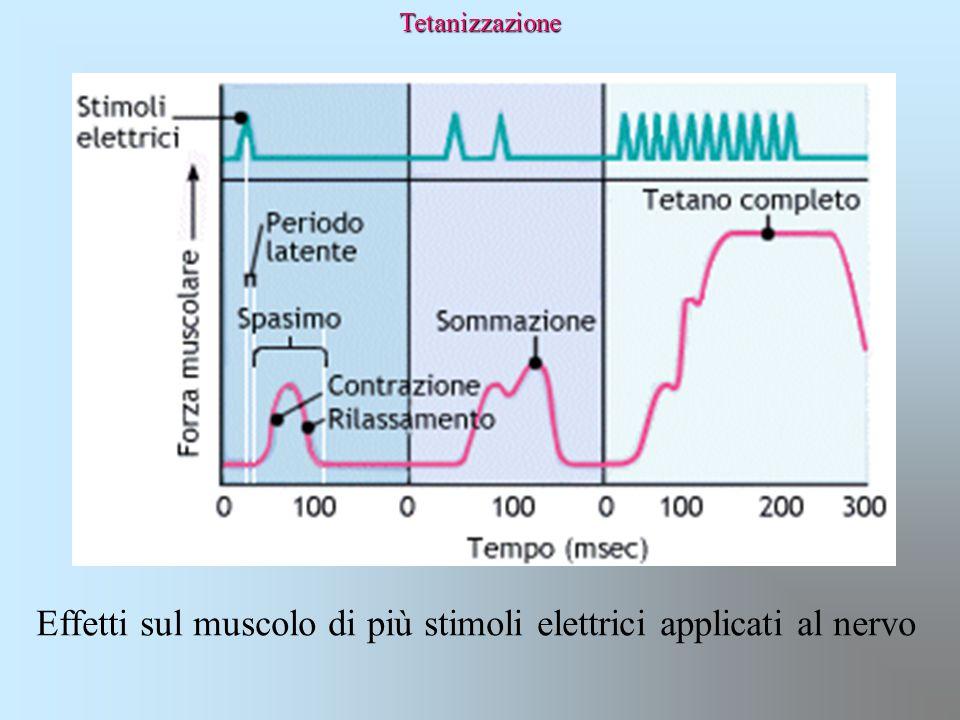 Effetti sul muscolo di più stimoli elettrici applicati al nervo