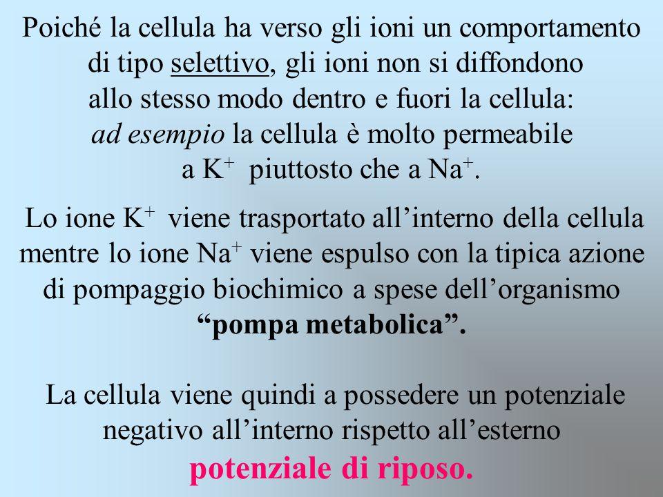 Poiché la cellula ha verso gli ioni un comportamento di tipo selettivo, gli ioni non si diffondono allo stesso modo dentro e fuori la cellula: ad esempio la cellula è molto permeabile a K+ piuttosto che a Na+.