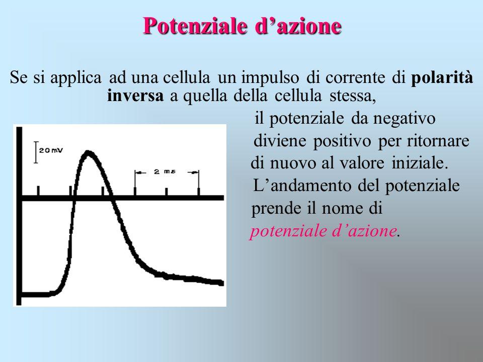 Potenziale d'azione Se si applica ad una cellula un impulso di corrente di polarità inversa a quella della cellula stessa,