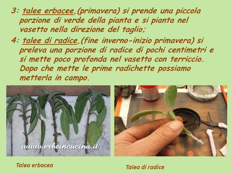 3: talee erbacee,(primavera) si prende una piccola porzione di verde della pianta e si pianta nel vasetto nella direzione del taglio;