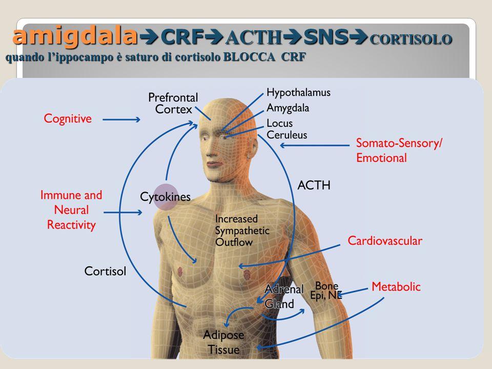 amigdalaCRFACTHSNSCORTISOLO quando l'ippocampo è saturo di cortisolo BLOCCA CRF
