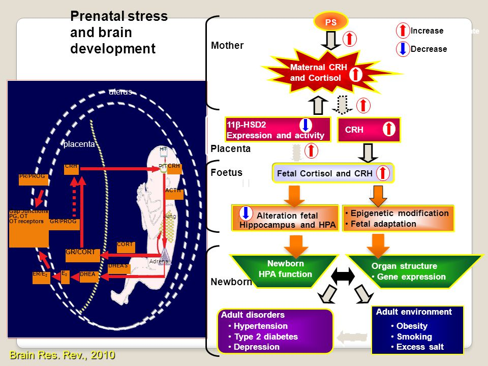 Prenatal stress and brain development    Brain Res. Rev., 2010