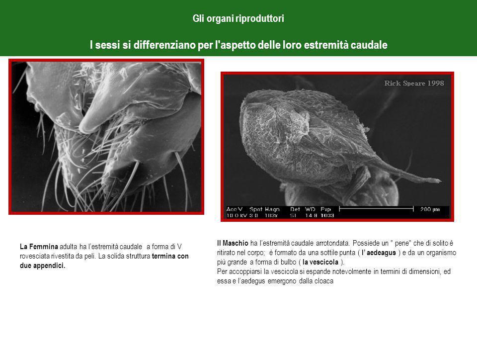 Gli organi riproduttori I sessi si differenziano per l aspetto delle loro estremità caudale