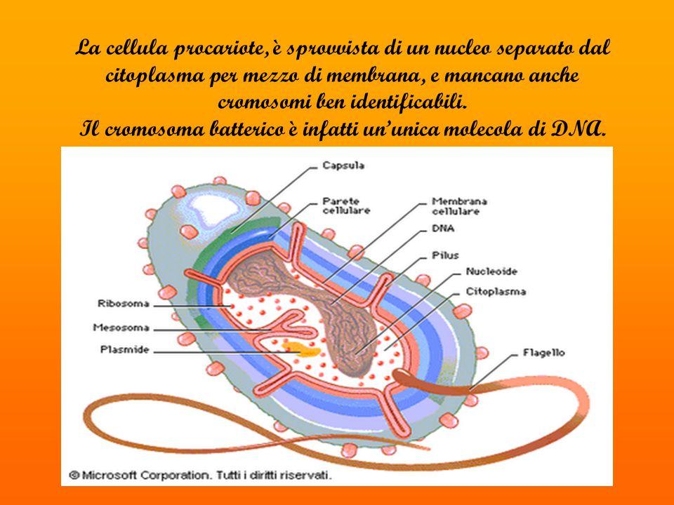 Il cromosoma batterico è infatti un'unica molecola di DNA.