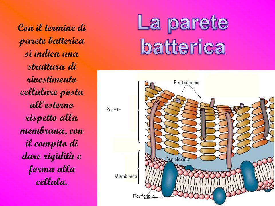 Con il termine di parete batterica si indica una struttura di rivestimento cellulare posta all'esterno rispetto alla membrana, con il compito di dare rigidità e forma alla cellula.
