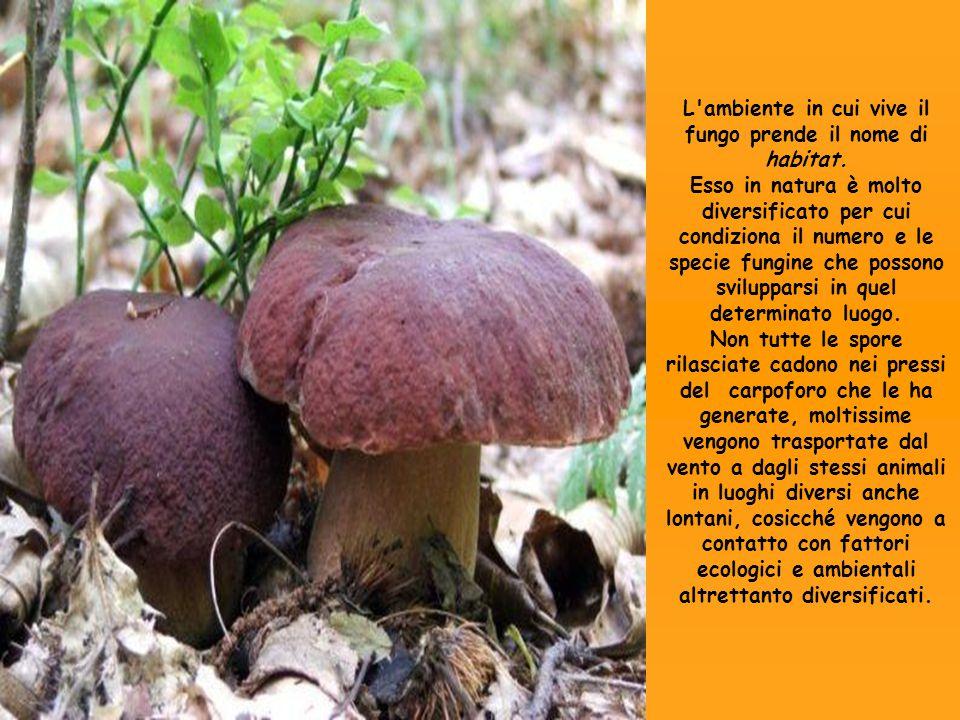 L ambiente in cui vive il fungo prende il nome di habitat.