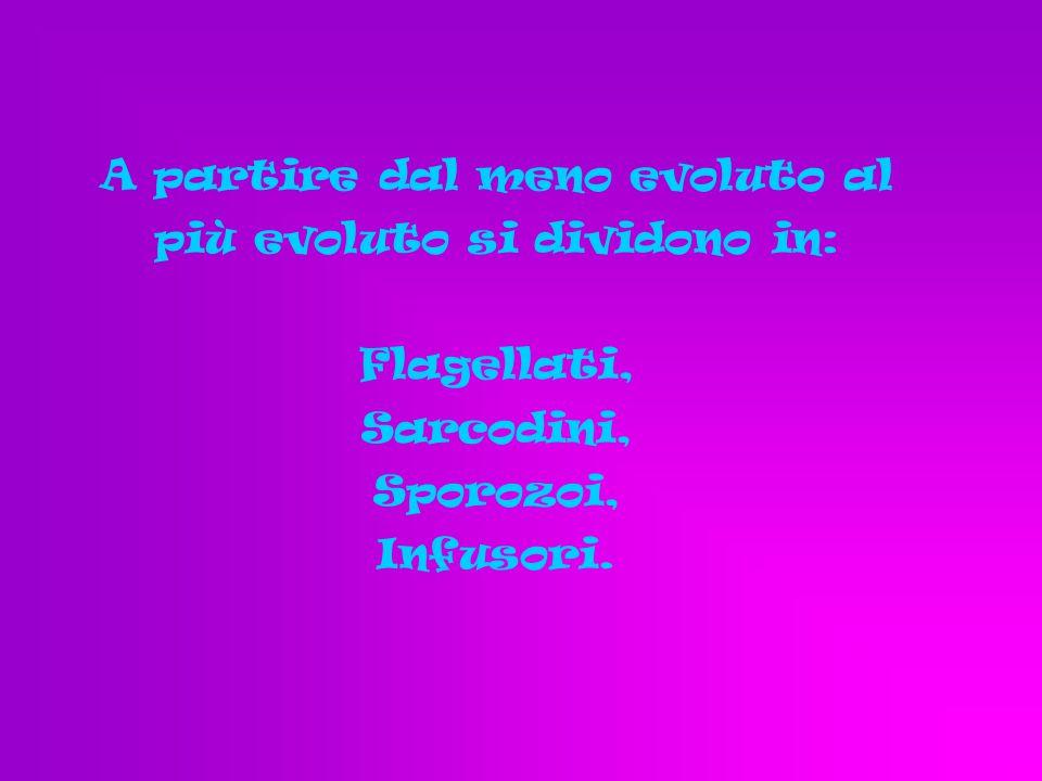 A partire dal meno evoluto al più evoluto si dividono in: