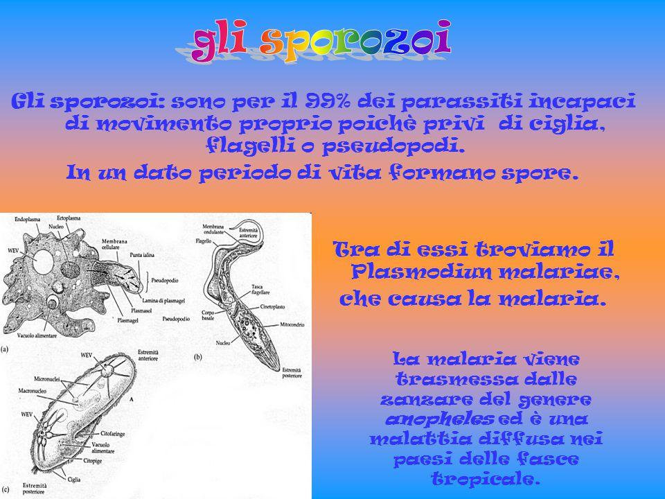 gli sporozoi Gli sporozoi: sono per il 99% dei parassiti incapaci di movimento proprio poichè privi di ciglia, flagelli o pseudopodi.