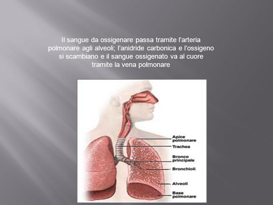 Il sangue da ossigenare passa tramite l'arteria polmonare agli alveoli; l'anidride carbonica e l'ossigeno si scambiano e il sangue ossigenato va al cuore tramite la vena polmonare