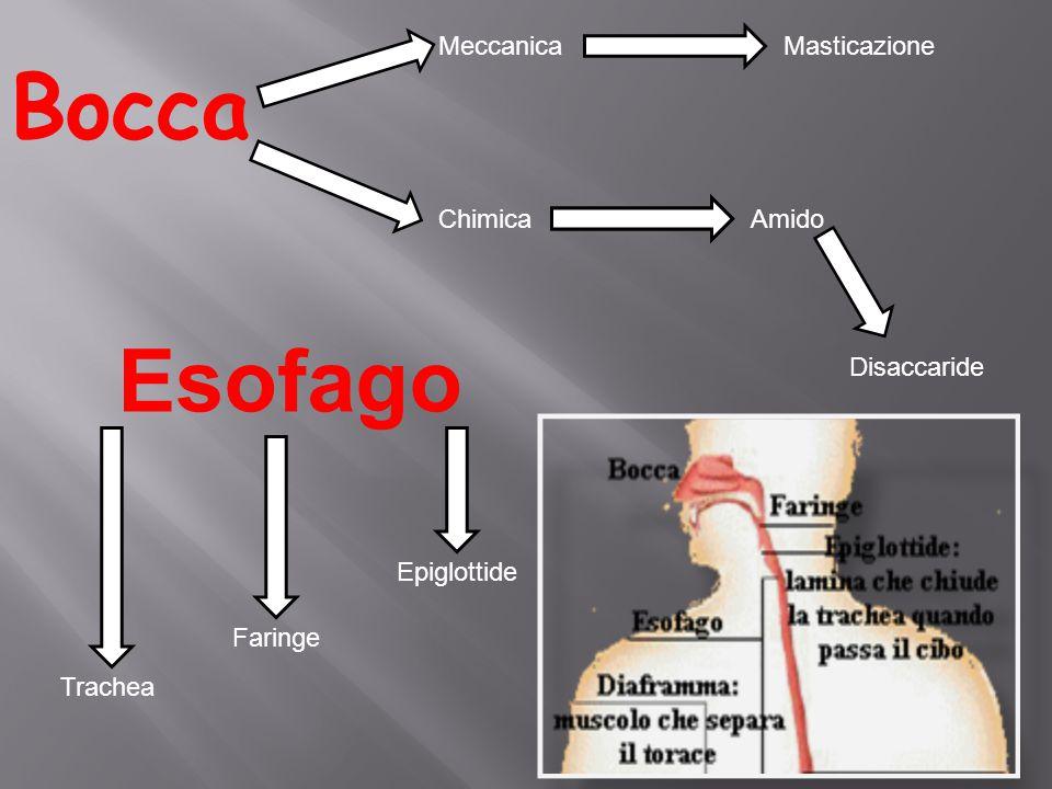 Bocca Esofago Meccanica Masticazione Chimica Amido Disaccaride