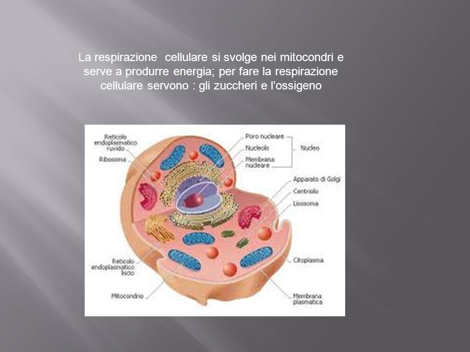 La respirazione cellulare si svolge nei mitocondri e serve a produrre energia; per fare la respirazione cellulare servono : gli zuccheri e l'ossigeno